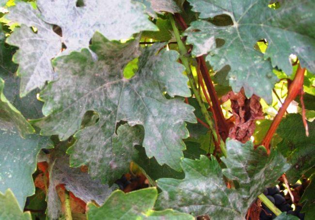 Листья винограда с белесыми пятнами, признак поражения растения мучнистой росой