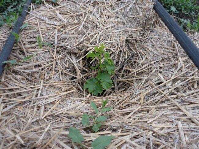 Молодой саженец винограда и толстый слой мульчирующего укрытия из соломы