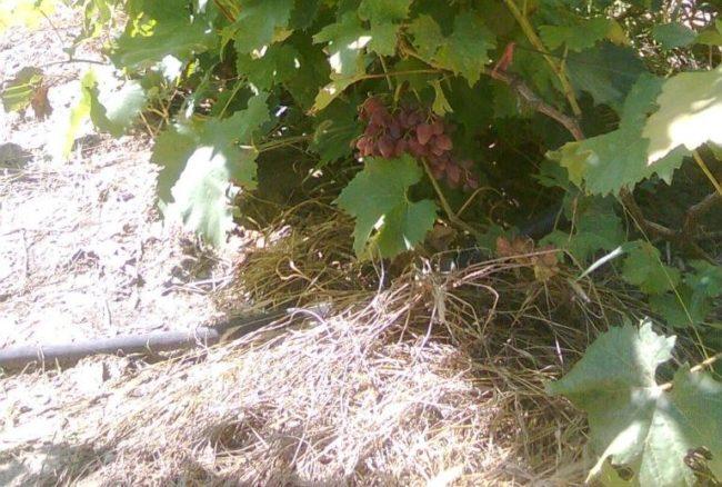 Сено под кустом винограда, мульчирование посадок самым доступным материалом