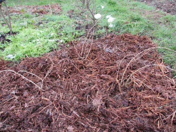 Кустики крыжовника осенью, мульчирование приствольных кругов растительными отходами