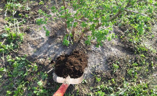 Куст крыжовника ранней весной, засыпаем поверхность земли питательным грунтом