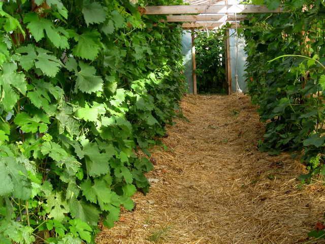 Два ряда виноградных кустов на шпалерах и мульча из соломы между ними
