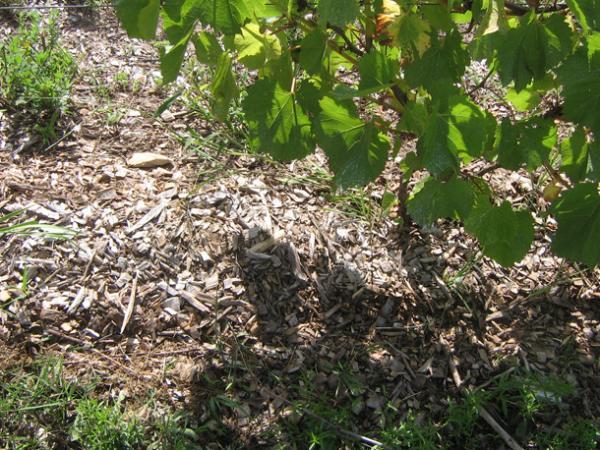 Куст винограда сорта Супер Экстра и мульча из смеси коры с древесной щепой