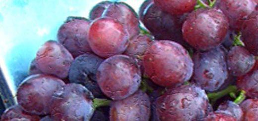 Гроздья сорта винограда Заря Несветая на весах вес 1,72 кг
