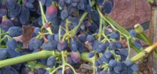Почти что созревшая виноградная гроздь сорта Надежда Азос