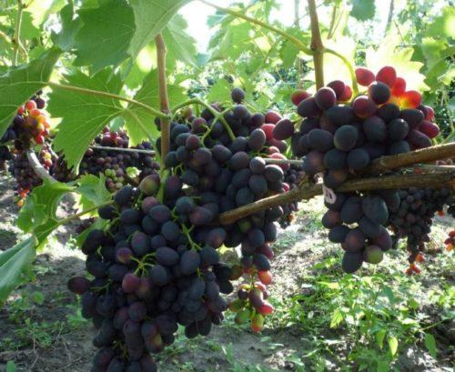 Ветки винограда на шпалере и темные ягоды в форме заостренного овала