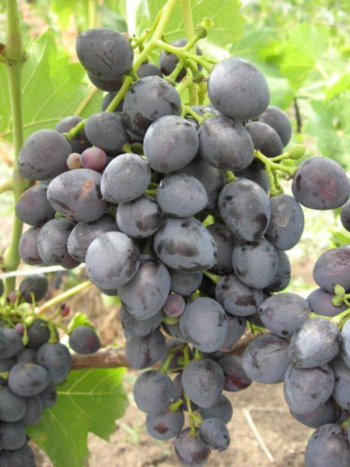 Гроздь винограда сорта Надежда Азос с ягодами темно-синего цвета