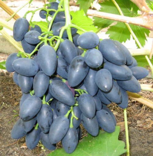 Кисть спелых ягод столового винограда Надежда Азос