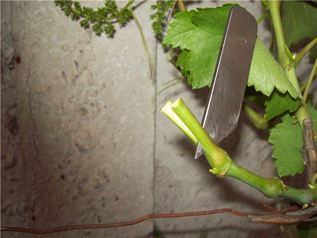 Правильный разрез на зеленом подвое старого куста винограда и острый нож