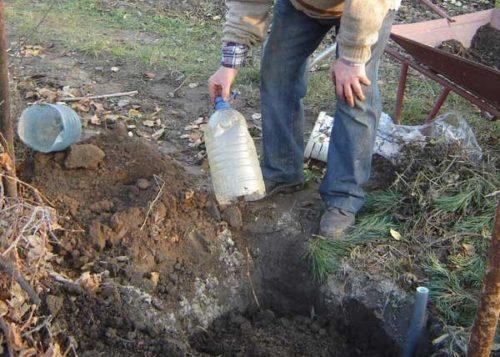 Черенок винограда в посадочной яме и садовод с пластиковой бутылкой