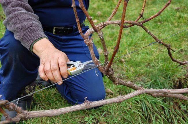 Осенняя обрезка виноградной лозы острым секатором для заготовки черенков