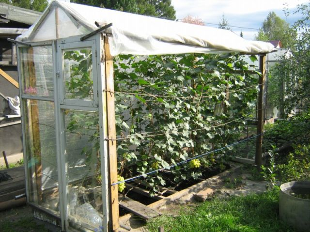 Навес для защиты винограда от излишней влаги, старые оконные рамы и полиэтиленовая пленка на крыше