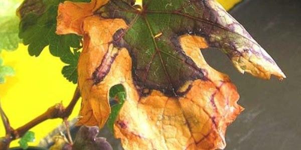 Лист винограда с признаками поражения растения пятнистым некрозом