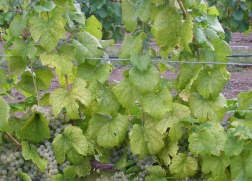 Виноградная лоза с признаками азотного голодания