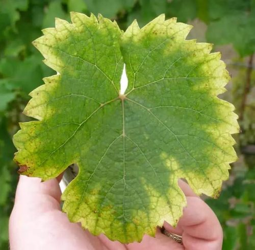 Лист винограда с бледно-желтой окантовкой вследствие нехватки магния