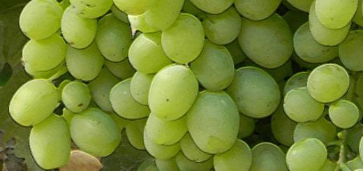 Гроздь неспелого винограда сорта Кеша 1