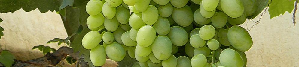 Виноград Кеша 1 и Кеша 2: описание сортов, фото и отзывы