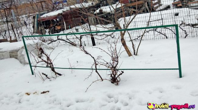 Неукрывной сорт винограда зимой