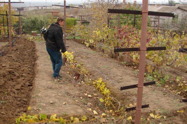 Осенняя обработка виноградника железным купоросом и металлический столб шпалеры