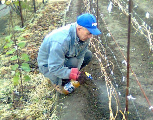 Опрыскивание винограда железным купоросом перед укрытием на зиму