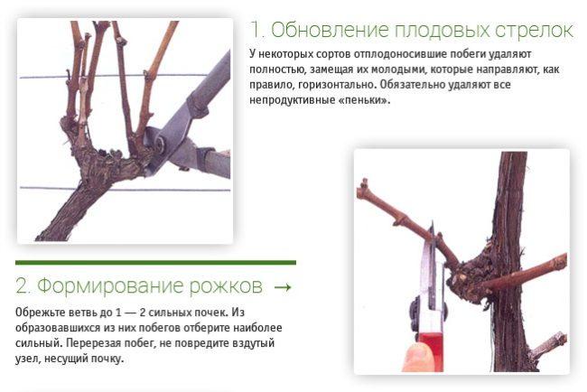 Схемы обрезки винограда: обновление плодовых веток и формирование рожков