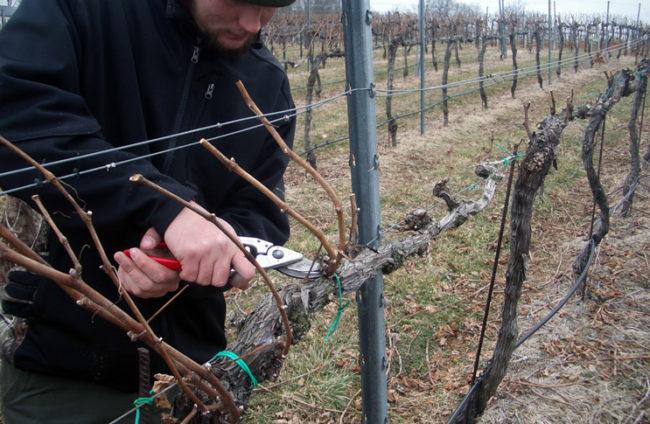 Человек обрезает виноградник секатором