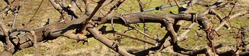 Обрезанные стебли винограда вблизи