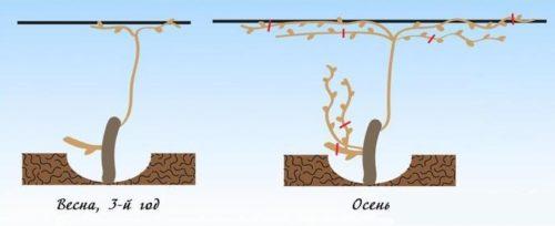 Схема обрезки виноградной лозы в течении третьего года жизни куста