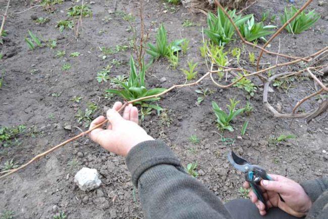 Садовод занимается осенней формирующей обрезкой виноградной лозы