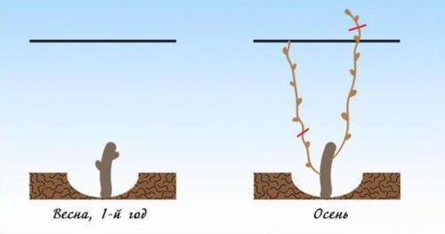 Схема весенней обрезки виноградной лозы в первый год жизни саженца