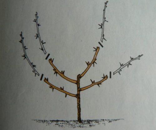 Схема обрезки саженца крыжовника пр высадке на постоянное место в открытый грунт