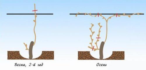 Схема обрезки винограда весной и осенью второго, формирование основания штамба