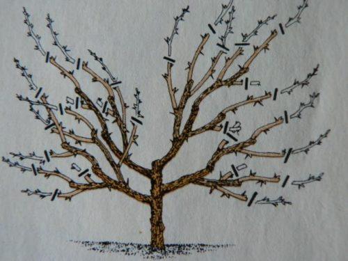 Схема формирование кроны крыжовника, осенняя обрезка кустариника