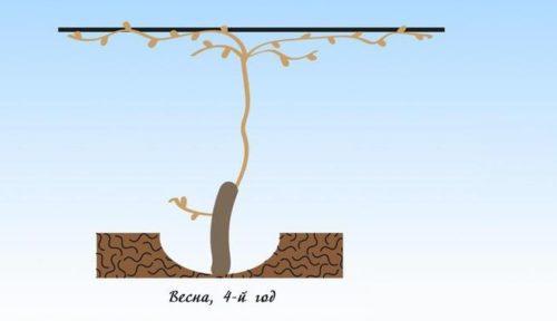 Схема формирование новых плодовых звеньев винограда весной четвертого года после посадки саженца