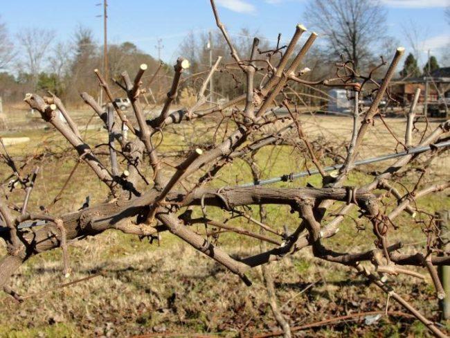 Виноградная ветка на проволочной шпалере после формирующей осенней обрезки