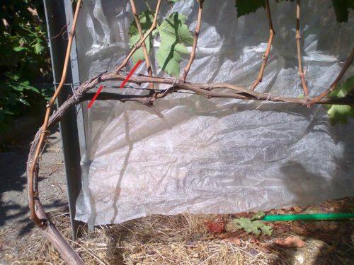 Схема обрезки плодового звена виноградной лозы с целью уменьшения длины рукава