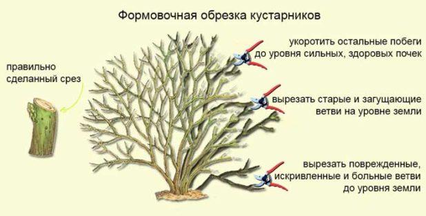 Схема осенней обрезки крыжовника, формирование правильной кроны кустарника