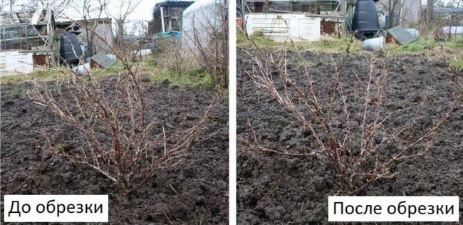 Фото крыжовника сорта Финик до и после формирующей обрезки поздней осенью
