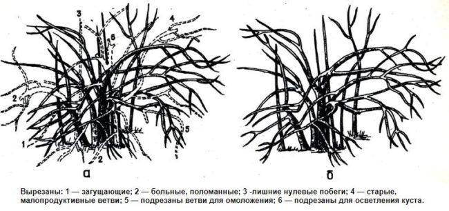 Схема правильной обрезки крыжовника, удаление больных, сломанных и малопродуктивных веток