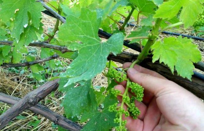 Кисть гибридного винограда Монарх в начальной стадии образования плодов