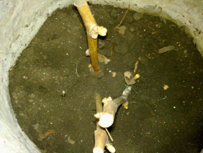 Обрезанный под корень куст винограда и набухшие почки