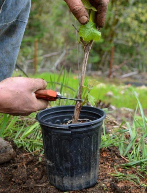 Обрезка саженца винограда перед посадкой в открытый грунт