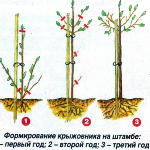 Схема формирования штамбового крыжовника на собственных корнях путем ежегодной обрезки