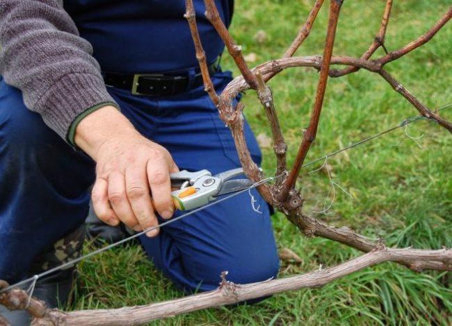 Виноградная лоза на проволочной шпалере и садовод с секатором в руке