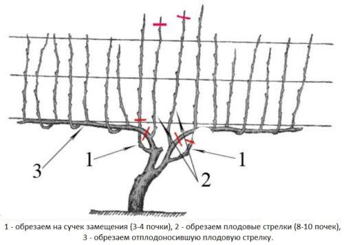 Схема осеней обрезки виноградной лозы на сучок замещения