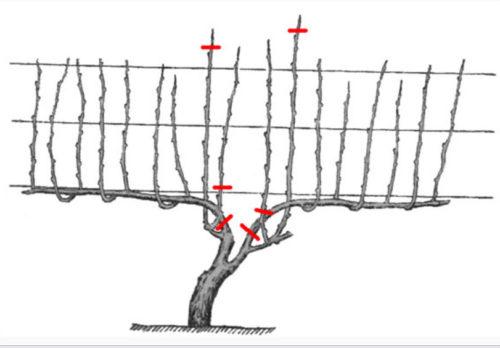 Схема формирования кроны виноградного куста с третьего года жизни