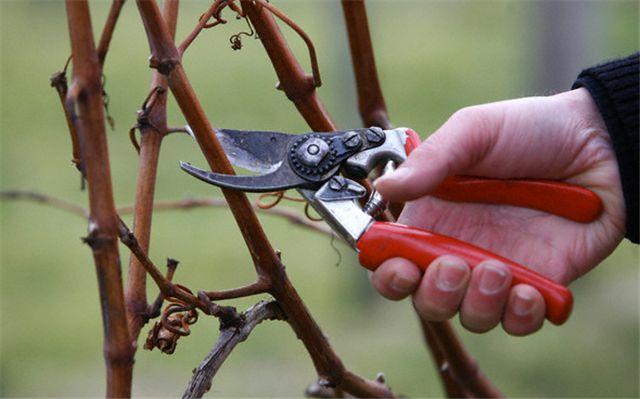 Виноградные ветви поздней осенью, формирующая обрезка лозы секатором