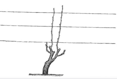Схема обрезанного куста винограда с двумя плодовыми ветками