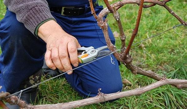 Осенняя обрезка винограда острым секатором, подготовка к зимнему укрытию