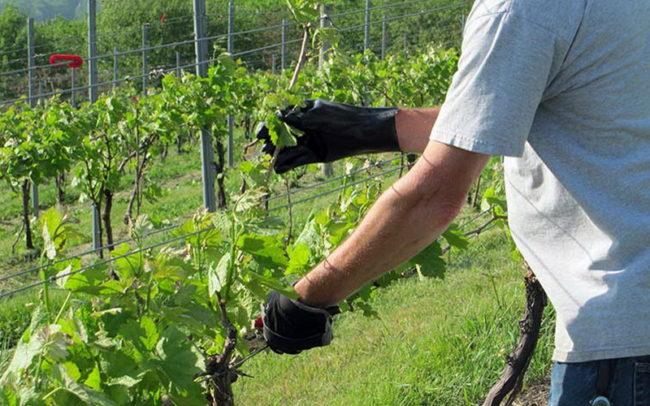 Виноградная лоза в начале лета, санитарная обрезка зеленых побегов